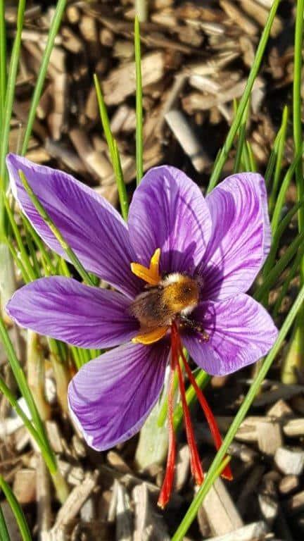 fleur safran ouverte