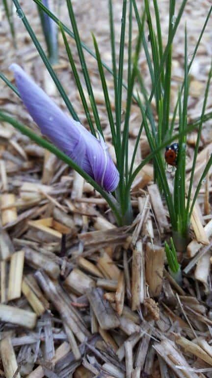 fleur safran fermée coccinelle